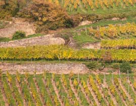 Hiking in the vineyard of Ribeauvillé